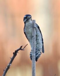 20100922 Hairy Woodpecker 2 2