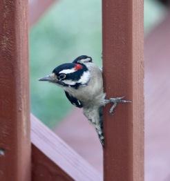 20100922 Hairy Woodpecker 7 2