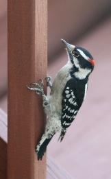 20100922 Hairy Woodpecker 8 2