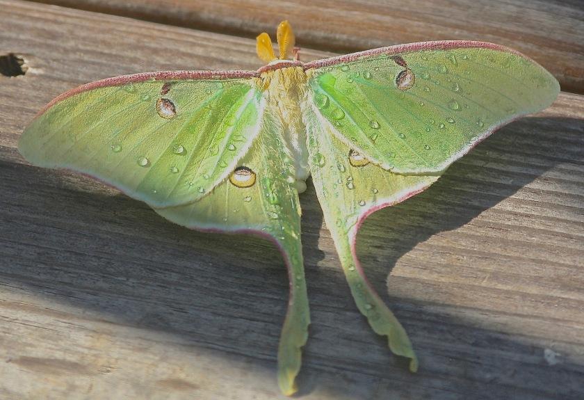 2013-05-15 Luna Moth 1
