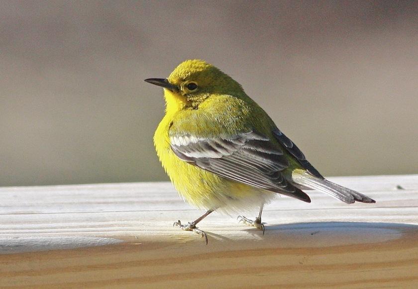 2013-pine-warbler