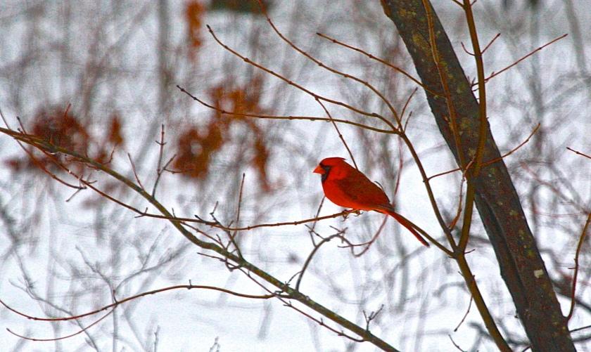 2014-02-13-cardinal-tree1