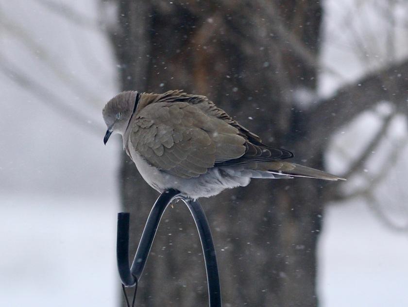 2018-01-21 Dove Snow