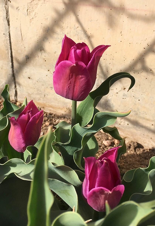 2018-04-28 Tulip