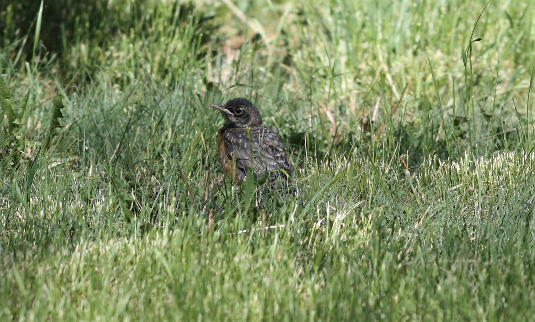 2019-06-12 Juvenile Robin 01