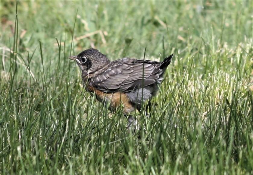 2019-06-12 Juvenile Robin 02